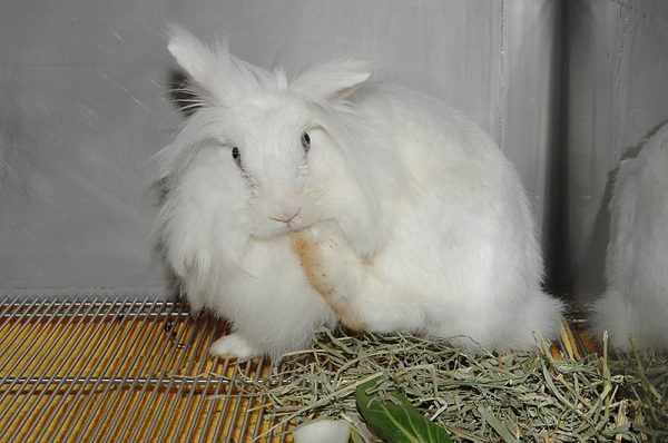 ウサギ毛づくろい