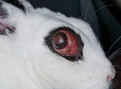 ウサギ眼球突出