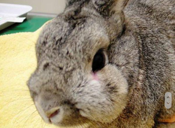 ウサギ膿瘍