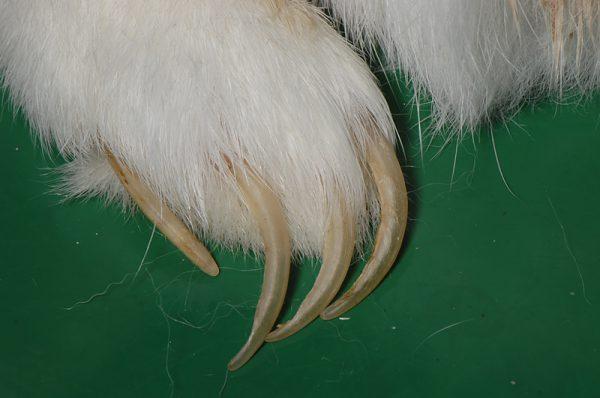 ウサギ長い爪