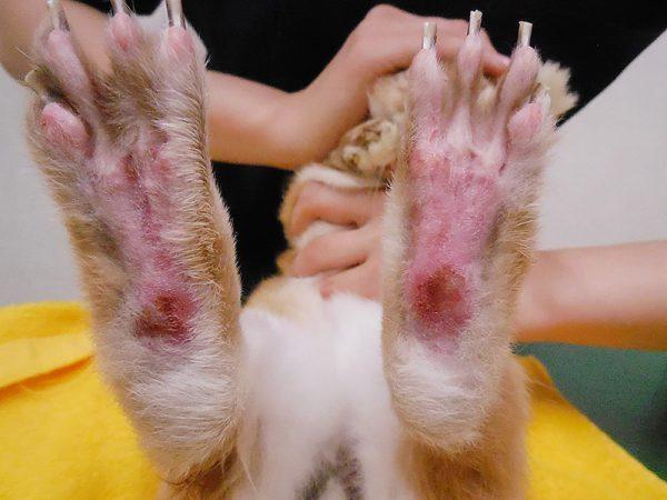 ウサギ足底皮膚炎