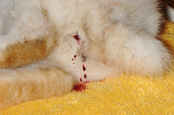 ウサギ陰部からの出血