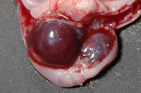 ウサギ子宮血種