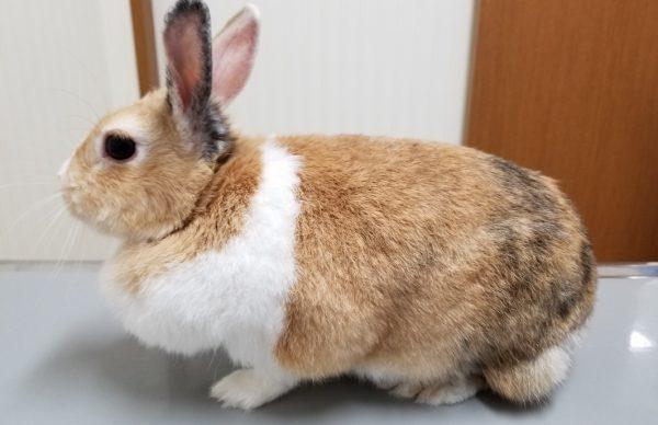 ウサギ肥満