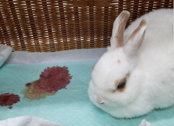 ウサギ赤いオシッコ