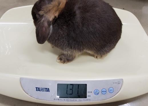 ウサギ体重測定