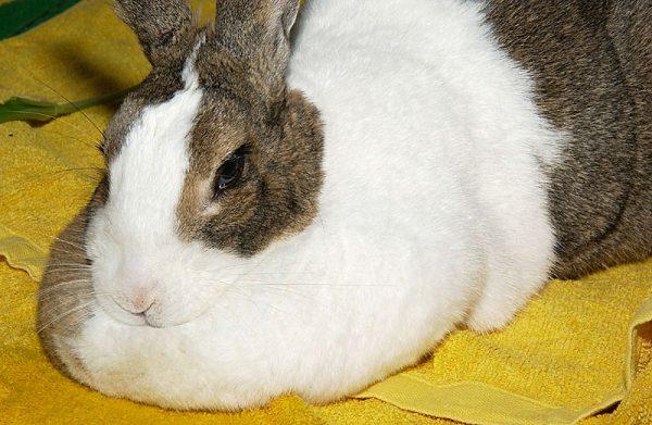 ウサギ肉垂