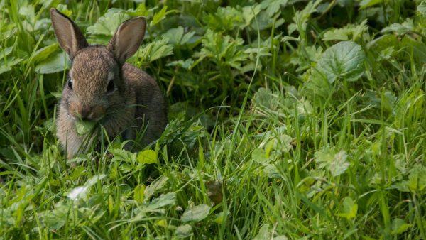 野生のウサギ