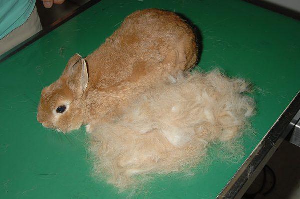 ウサギ換毛