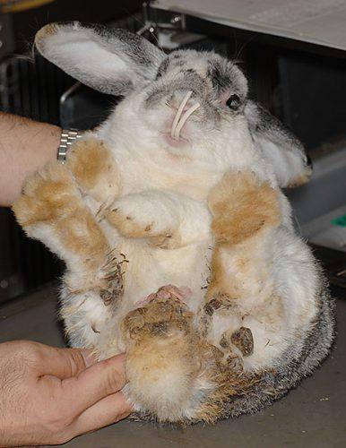 ウサギ不正咬合