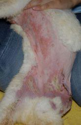ウサギ皮膚炎