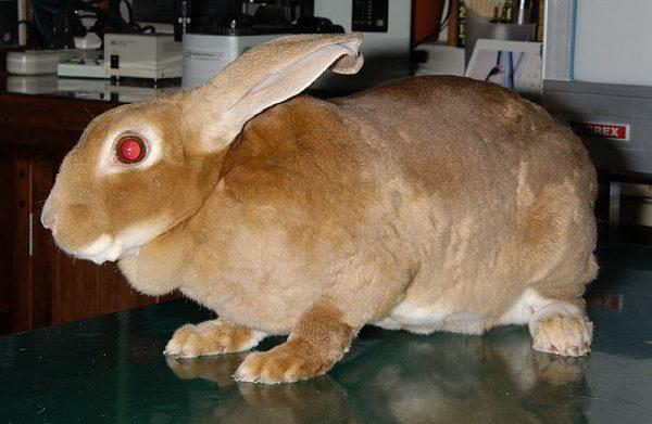ウサギミニレッキス