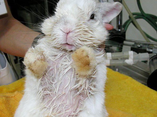 ウサギ毛の濡れ