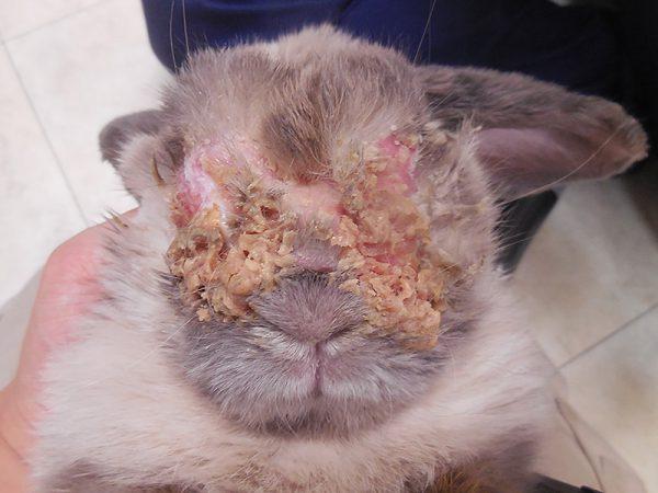 ウサギ細菌性皮膚炎