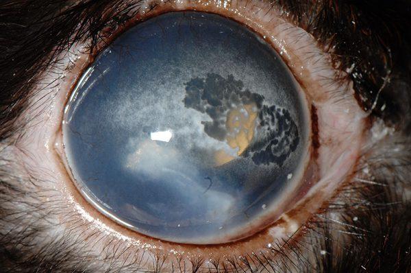 ウサギの角膜のカルシウム沈着