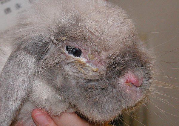 ウサギの鼻炎と目ヤニ
