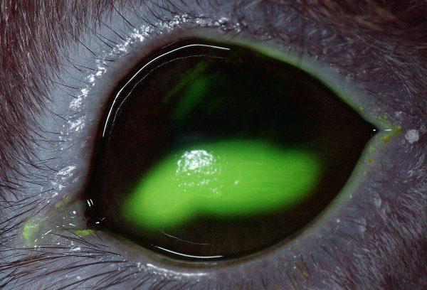 ウサギの角膜潰瘍