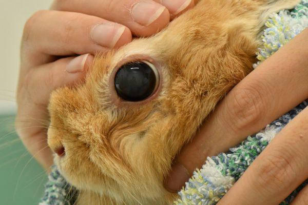 ウサギの緑内障