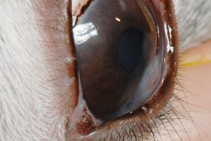ウサギの角膜炎