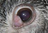ウサギの目の病気