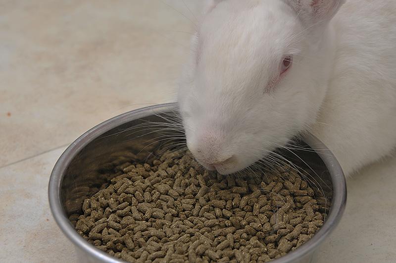 ウサギ採食