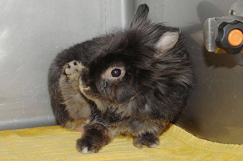 毛づくろいしたウサギ