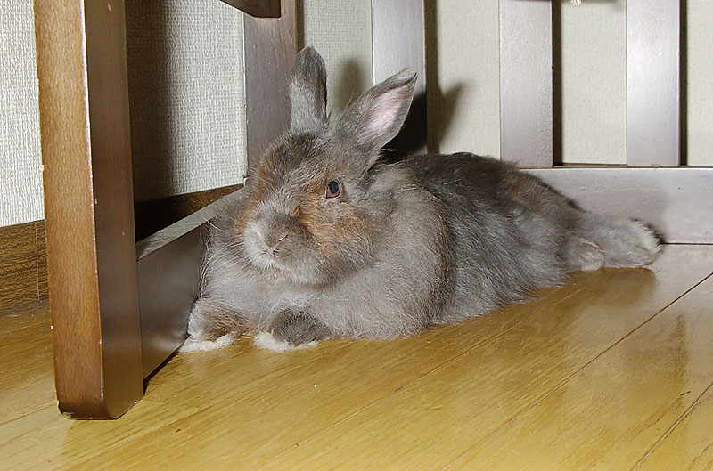 休んでいるウサギ