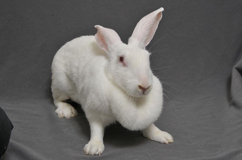 ウサギの肉垂