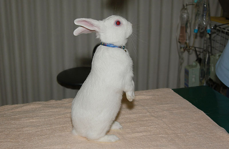 探索しているウサギ