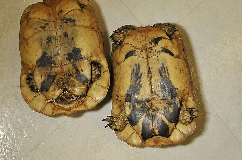 キレナイカギリシャリクガメ