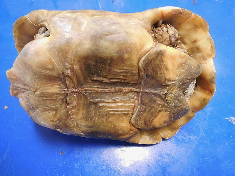 リクガメの腹甲のくぼみ