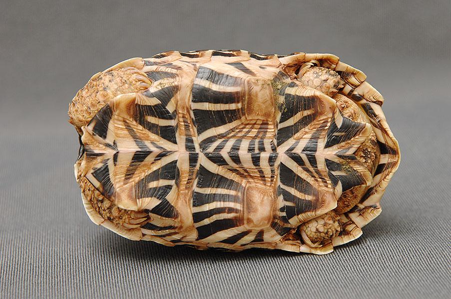 インドホシガメ腹甲