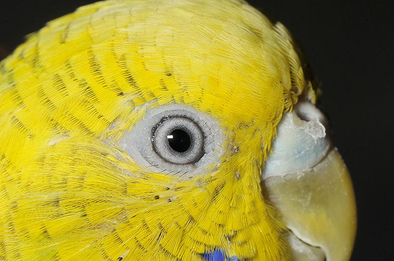 セキセイインコの目