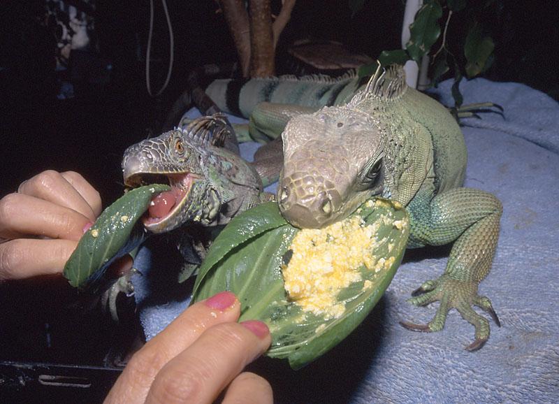 イグアナ採食