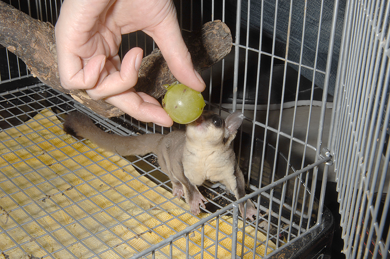 果物を食べるフクロモモンガ