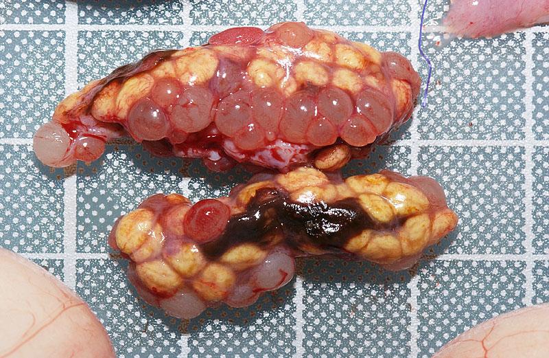 イグアナ卵胞吸収